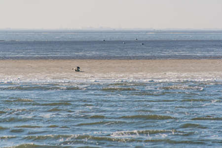 sandbar: Sandbank with seals at the North of the Netherlands in the Wadden Sea