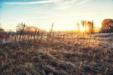 common reed: Dutch Winterlandscape with tall grass, primrose seedpods and sunrise