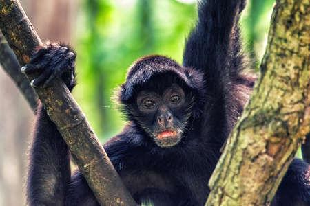 나무 캐노피에서 높은 거미 원숭이