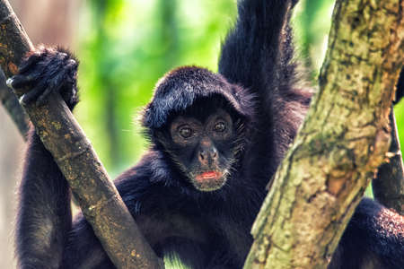 Spider monkey high up in the tree canopy
