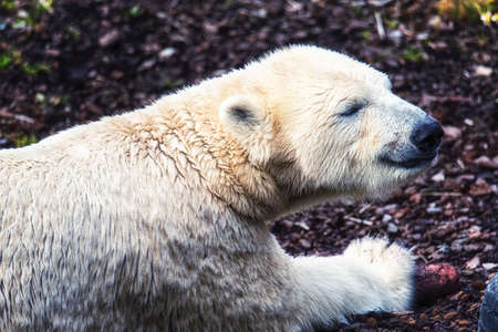 The polar bear (Ursus maritimus) is a carnivorous bear whose native range lies largely within the Arctic Circle. Stock Photo
