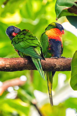 Rainbow lorikeet called Trichoglossus moluccanus