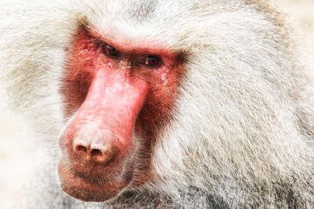Portrait of a baboon monkey (Papio hamadryas) Stock Photo