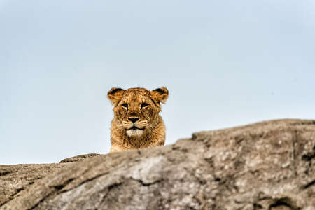 A portrait of a lioness