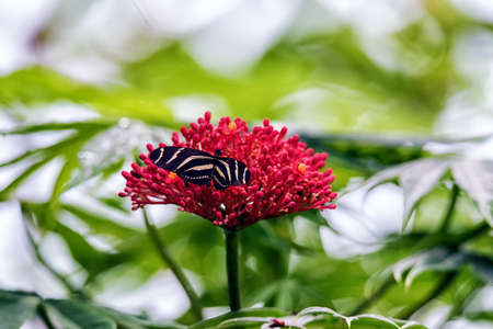 Zebra longwing, Butterfly on a flower Stock Photo