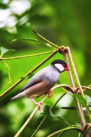 Java sparrow standing on a branch