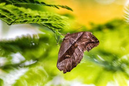 Caligo memnon is resting on a leaf
