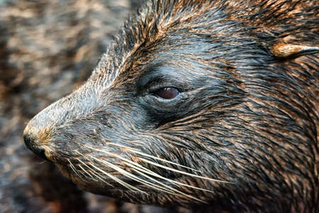 The South American fur seal (Arctocephalus australis)