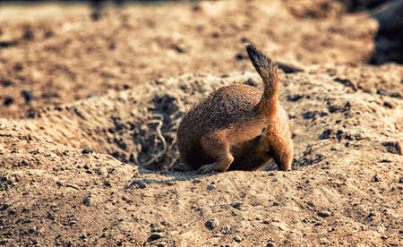 Close-up of a brown prairie dog backside... Stock Photo