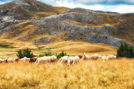 Flock of Sheep on the plains of Mavrovo national park, Macedonia
