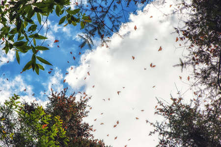 Monarch Butterflies in Michoacan, Mexico, millions are migrating every year and waking up with the sun.