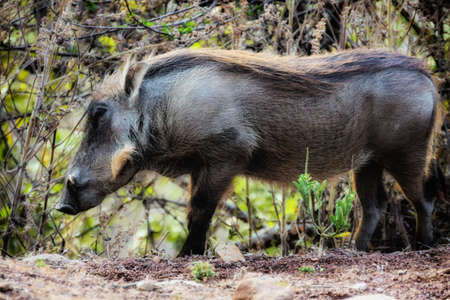Portrait of a Common warthog 写真素材