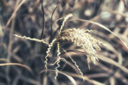 Marram grass in winter, Close Up