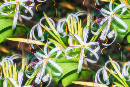 Starry Crinum purpurascens white flowers flower Amaryllidaceae Tropical plant swamp lily