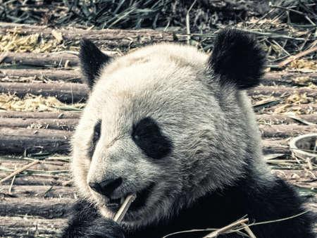 Giant Panda, Ailuropoda melanoleuca, at Panda Research Base, Chengdu, Sichuan, China 스톡 콘텐츠