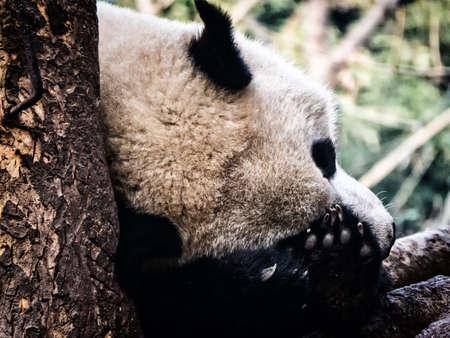 Resting giant panda, Chengdu, China.