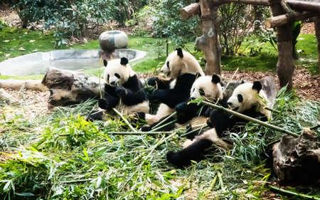 Giant pandas eating bamboo at the Chengdu Research Base of Giant Panda Breeding, Chengdu, Sichuan, China 스톡 콘텐츠