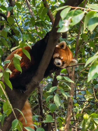 The Red Panda, Fire fox in Chengdu, China