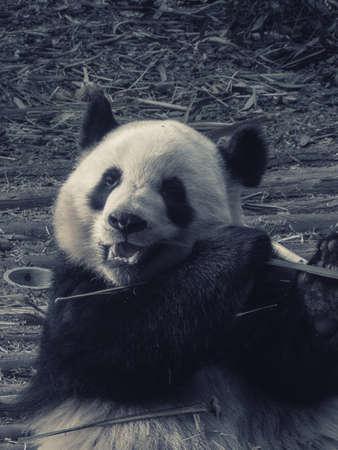 Giant Panda eating bamboo lying down on wood in Chengdu, Sichuan Province, China Stock Photo