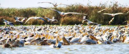 Great White Pelicans (Pelecanus onocrotalus), breeding colony, Djoudj National Park, Senegal