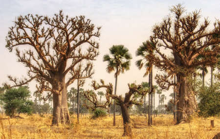 Drzewa baobabu są endemiczne w Gambii