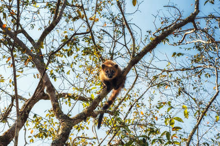 South American Coati (Nasua nasua) climbing a tree