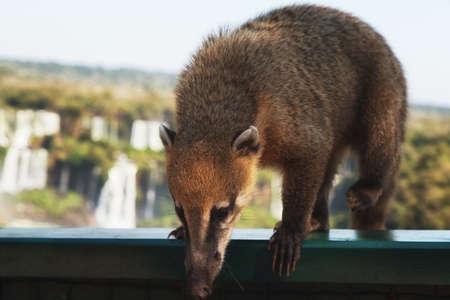 Coati, one of many Raccoon-like Creatures found at Iguazu Falls National Park, Puerto Iguazu, Argentina Stockfoto