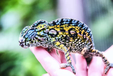 Small colorful Carpet chameleon resting in the palm of a hand, Madagascar