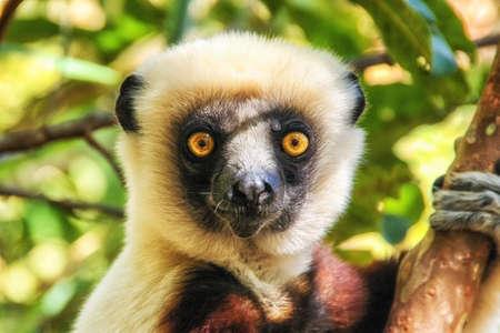 Coquerel's Sifaka lemur, Madagascar. Banque d'images