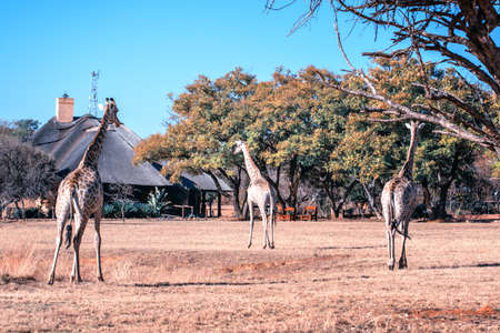 Giraffes strolls by a game lodge in the Marakele Game Reserve on the Eastern Cape, South Africa, Africa Banque d'images