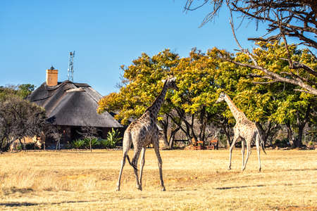 Giraffes strolls by a game lodge in the Marakele Game Reserve on the Eastern Cape, South Africa, Africa