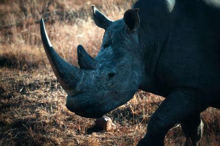 White rhinoceros (Ceratotherium simum), Welgevonden Game Reserve, South Africa