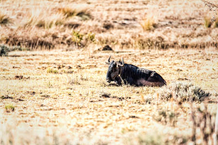 Wildebeest lying down in the Marakele National Park in South Africa