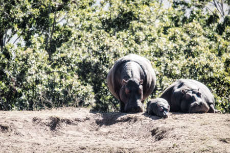 Family of hippos (Hippopotamus amphibius) resting on land in the Welgevonden game reserve, South Africa.