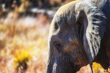 Side profile of an African elephant in the Welgevonden game reserve, South Africa.