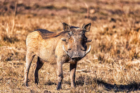 common Warthog or Phacochoerus africanus in a game reserve