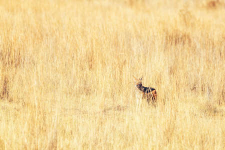 Black-backed jackal, Canis mesomelas, Welgevonden Game Reserve, South Africa