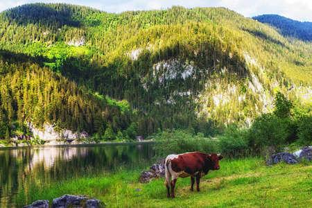 Gosausee in Salzkammergut (Austria) in summer, cattle near water
