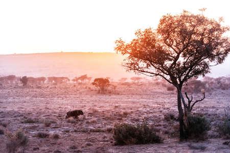 African Savannah scenes, a Wildebeest at Sunrise. Standard-Bild