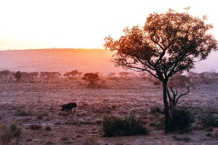 African Savannah scenes, a Wildebeest at Sunrise.