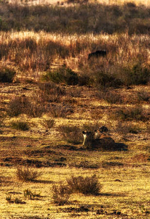 Lioness (Panthera leo) ready to attack a Wildebeest (Connochaetes taurinus)