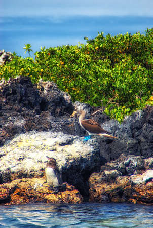 Galapagos penguin (Spheniscus mendiculus) with Blue-footed booby (Sula nebouxii), Galapagos, Ecuador