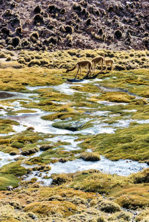 Vicuna herd in an Atacama Highlands wetland bog in the foothills of the Andes mountains