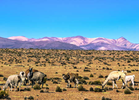 Mountain landscape with llamas (Lama glama) and Alpacas (Vicugna pacos) in national park Lauca, Chile