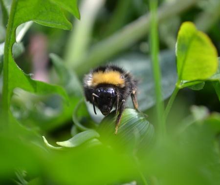 Humblebee photo