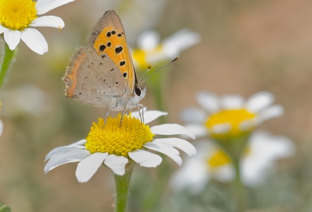 lycaena photo