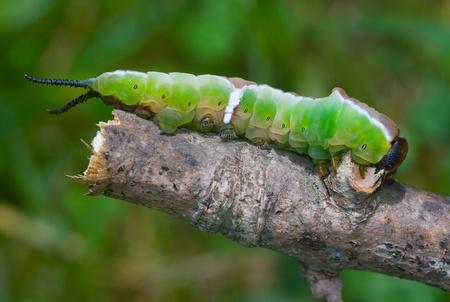 caterpilla moth Reklamní fotografie