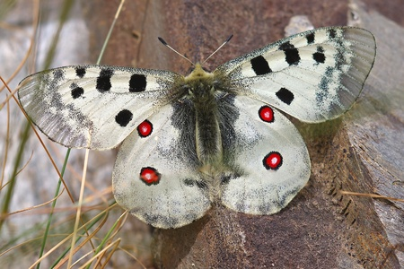 Parnassius apollo photo