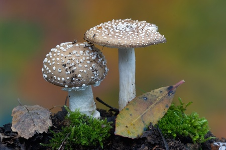 Amanita pantherina Stock Photo - 11620745