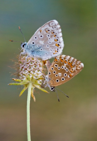 polyommatus: Polyommatus  Couple  Stock Photo